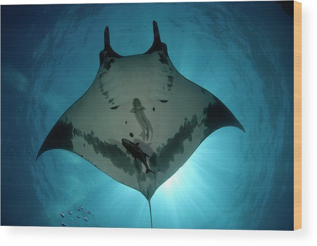 Latin America Wood Print featuring the photograph Manta Ray Of Revillagigedo by Luis Javier Sandoval