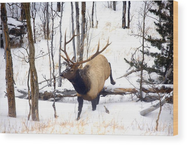 Elk Wood Print featuring the photograph On the Move by Mike Dawson