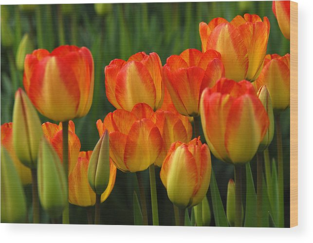 Tulip Wood Print featuring the photograph Pacific Northwest Tulips 1 by Keith Gondron