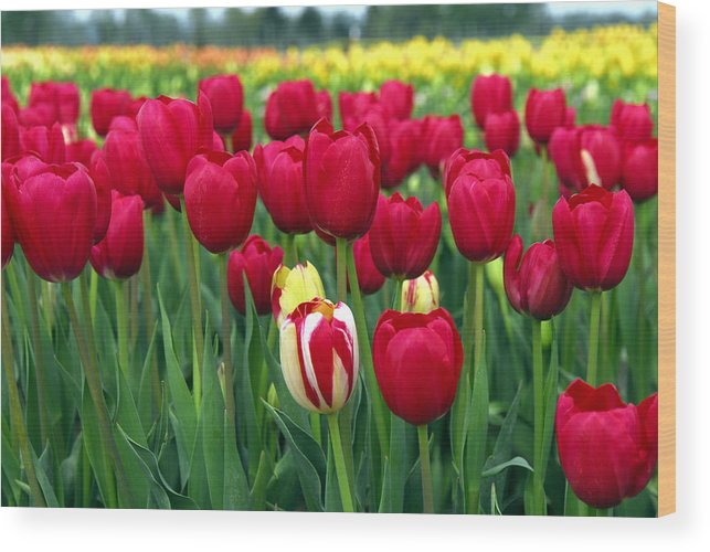 Tulip Wood Print featuring the photograph Pacific Northwest Tulips 2 by Keith Gondron