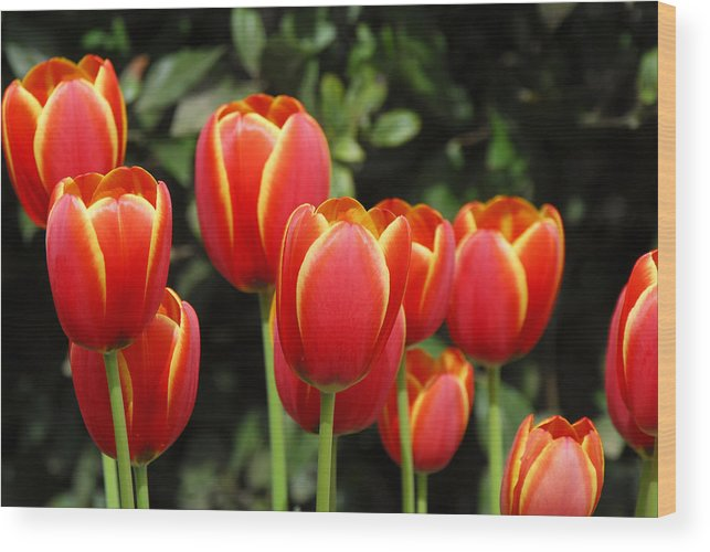 Pacific Wood Print featuring the photograph Pacific Northwest Tulips 6 by Keith Gondron