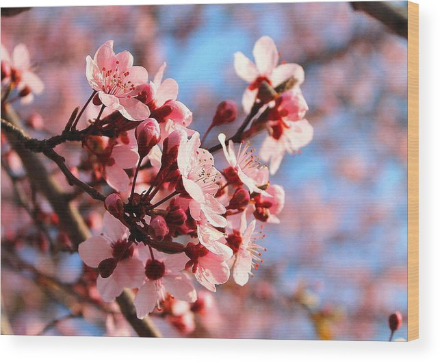 Cherry Blossom Wood Print featuring the photograph Pink Cherry Heaven by Candice Trimble