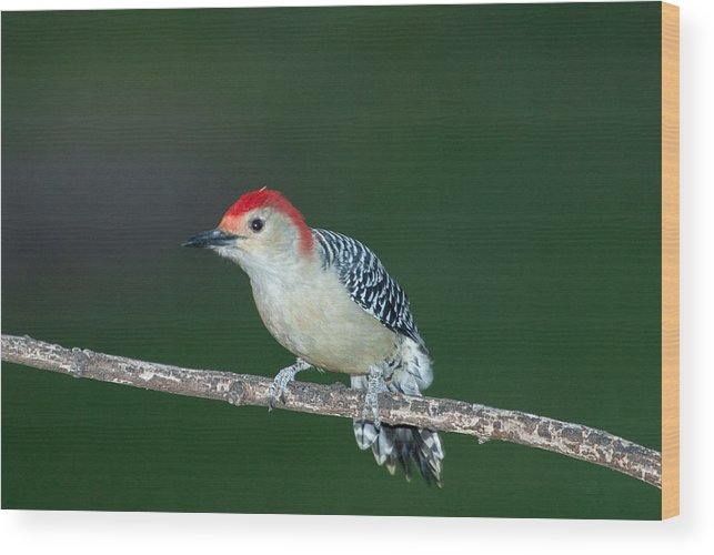 Woodpecker Wood Print featuring the photograph Red Head by Paul Johnson