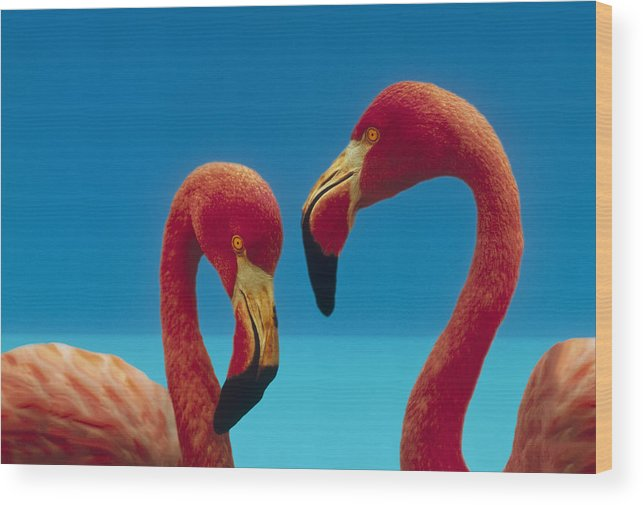 00172310 Wood Print featuring the photograph Greater Flamingo Courting Pair by Tim Fitzharris
