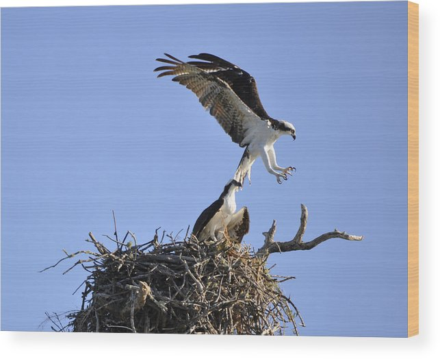 Osprey Wood Print featuring the photograph Osprey Coming in for a Landing by Christine Stonebridge