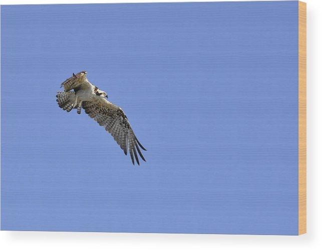 Osprey Wood Print featuring the photograph Osprey in Flight by Christine Stonebridge
