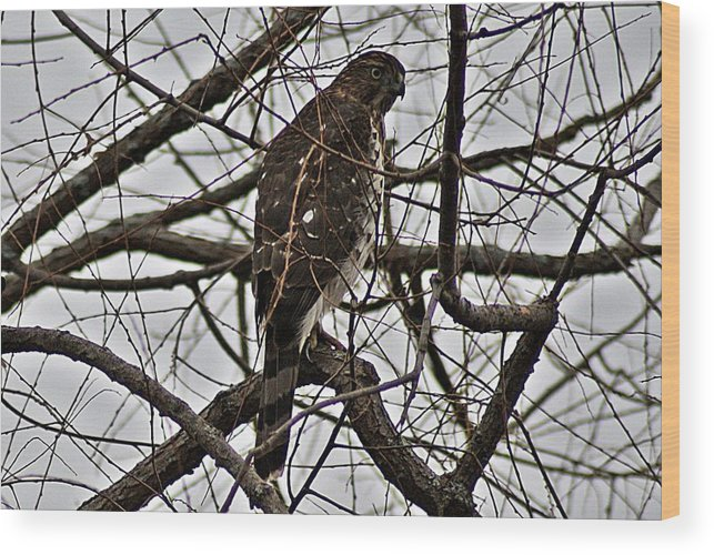 Sharp Wood Print featuring the photograph Sharp Shinned Hawk by Joe Faherty