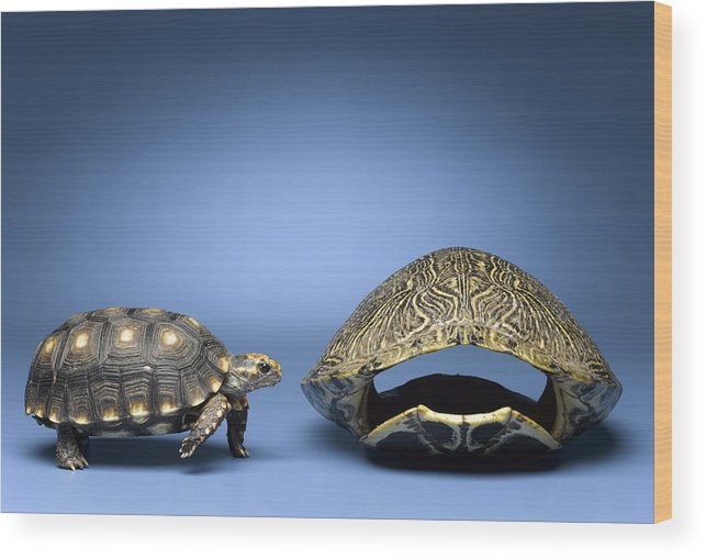 Horizontal Wood Print featuring the photograph Turtle Looking At Larger, Empty Shell by Jeffrey Hamilton