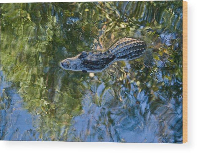 Alligator Wood Print featuring the photograph Alligator stalking by Douglas Barnett