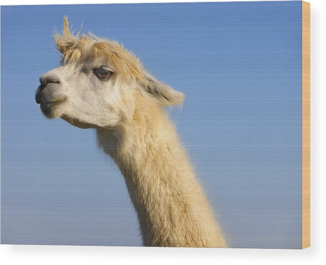 Skip Hunt Wood Print featuring the photograph Alpaca by Skip Hunt