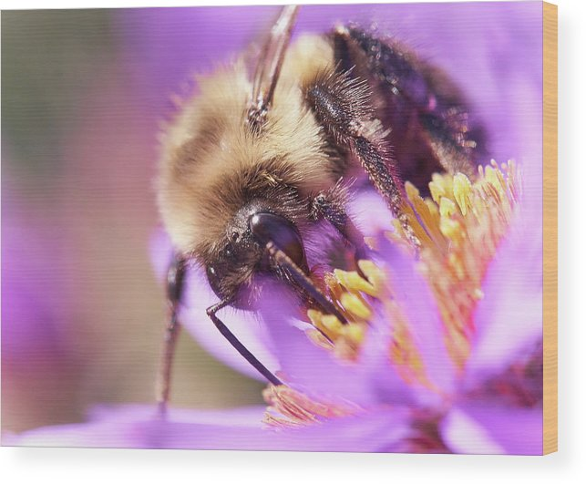 Aster Wood Print featuring the photograph Bumble Bee on Aster by Jim Hughes