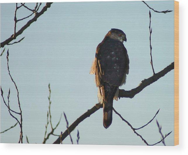 Hawk Wood Print featuring the photograph Cooper's Hawk by Steve Karol