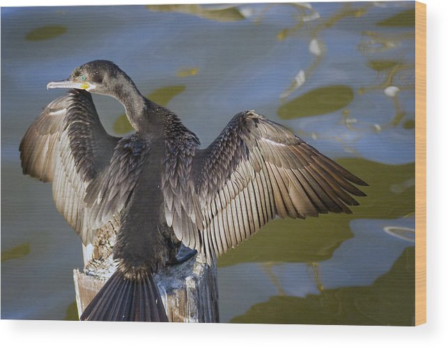 Neotropic Cormorant Wood Print featuring the photograph Cormorant looking back by Robert Brown