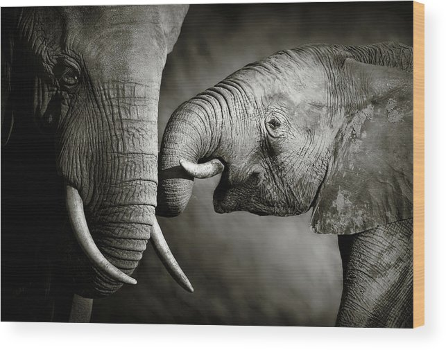 Elephant; Interact; Touch; Gently; Trunk; Young; Large; Small; Big; Tusk; Together; Togetherness; Passionate; Affectionate; Behavior; Art; Artistic; Black; White; B&w; Monochrome; Image; African; Animal; Wildlife; Wild; Mammal; Animal; Two; Moody; Outdoor; Nature; Africa; Nobody; Photograph; Addo; National; Park; Loxodonta; Africana; Muddy; Caring; Passion; Affection; Show; Display; Reach Wood Print featuring the photograph Elephant affection by Johan Swanepoel