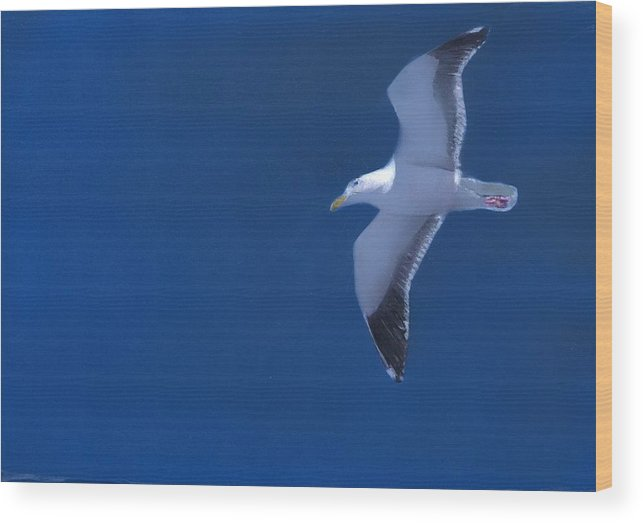 Gull Wood Print featuring the painting Gull by Charles Parks