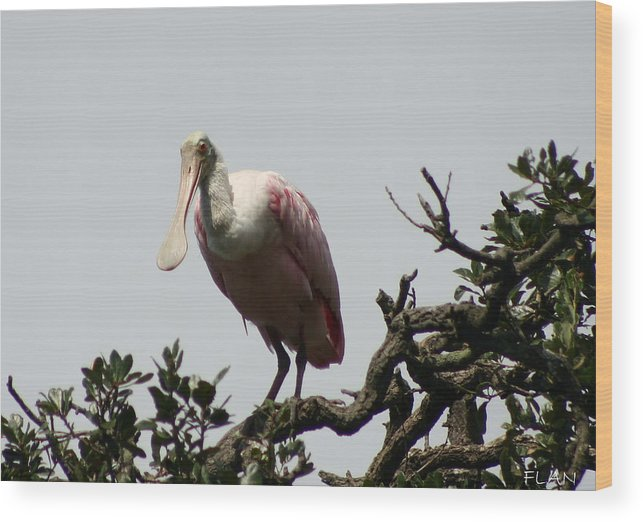 Wildlife Wood Print featuring the photograph Spooned Bill Bird by Ruben Flanagan