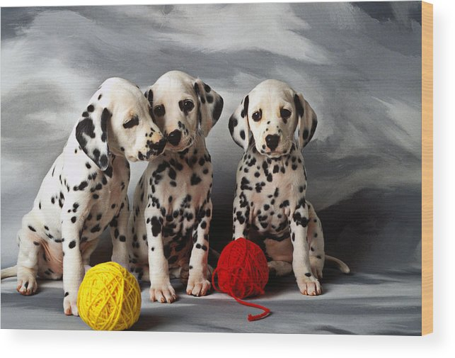 Dalmatian Puppies Three Puppy Dalmatians Pet Pets Animal Animals Dog Dogs Doggy Sit Sits Sitting Young Pedigree Canine Domestic Domesticated Purebred Purebreed Breed Gray Background Vertical Color Colour Colors Canines Calm Cute Hound Hounds Innocence Spot Spots Companionship Together Togetherness Wood Print featuring the photograph Three Dalmatian puppies by Garry Gay