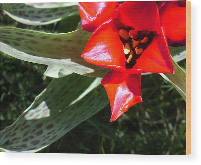 Tulip Wood Print featuring the photograph Tulip by Steve Karol