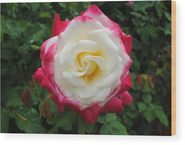 White Wood Print featuring the photograph White Red Rose by Jost Houk