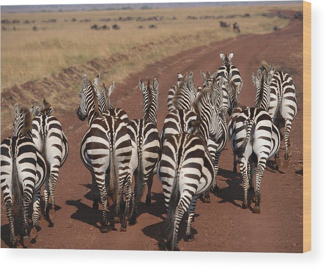 Plains Zebra Wood Print featuring the photograph Grant Zebra by Imagenavi