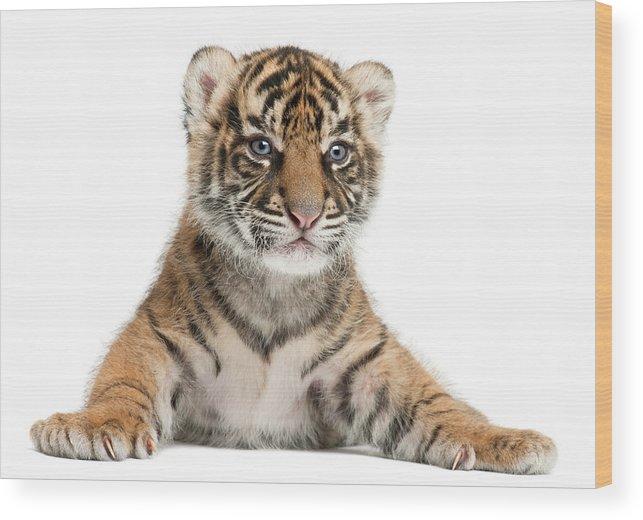 White Background Wood Print featuring the photograph Sumatran Tiger Cub - Panthera Tigris by Life On White