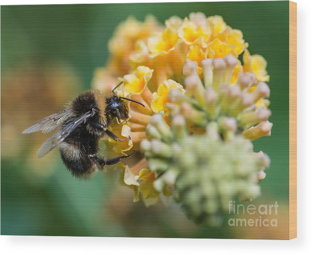 Stigma Wood Print featuring the photograph A Macro Shot Of A Bumblebee Enjoying by Ian Grainger