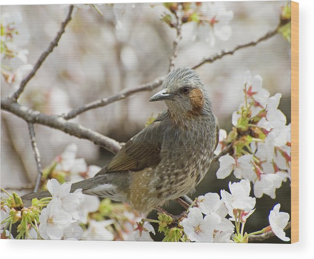 Alertness Wood Print featuring the photograph Bird Perched Among Cherry Blossoms by Philippe Widling / Design Pics