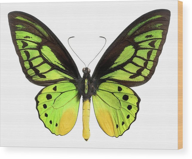 White Background Wood Print featuring the photograph Butterfly Lepidoptera With Green, Black by Flamingpumpkin
