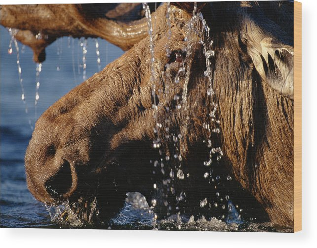 Male Animal Wood Print featuring the photograph Close-up Of Bull Moose Alces Alces With by Eastcott Momatiuk