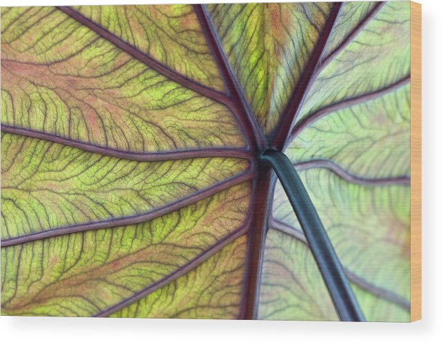 Voodoo Doll Wood Print featuring the photograph Close Up Of Colocasia Esculenta Leaf by Deb Casso