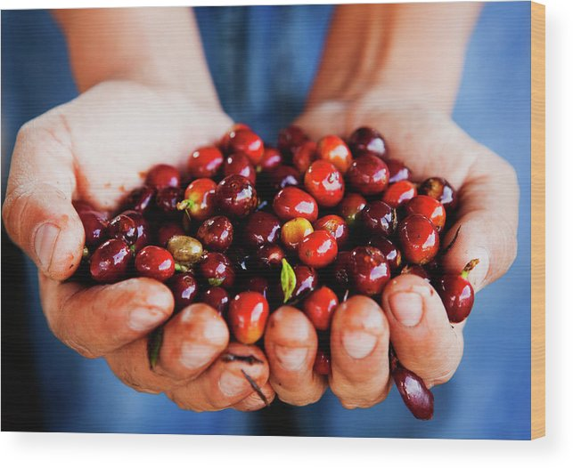Mature Adult Wood Print featuring the photograph Close Up Of Hands Holding Coffee Beans by Pixelchrome Inc