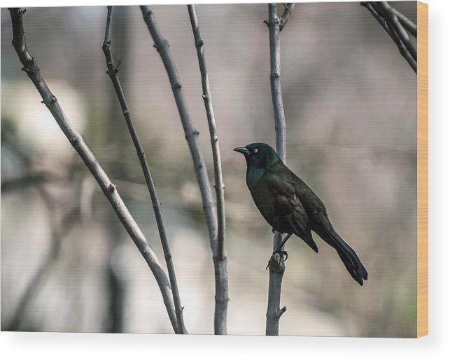 Animal Themes Wood Print featuring the photograph Common Grackle by By Ken Ilio