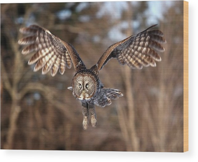 Animal Themes Wood Print featuring the photograph Great Gray Owl Swoops Down by Jim Cumming