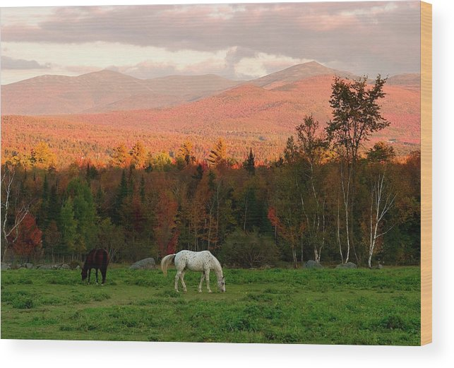 Horse Wood Print featuring the photograph Horses Grazing During The New England by Myloupe/uig