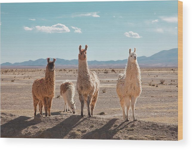 Shadow Wood Print featuring the photograph Llamas Posing In High Desert by Kathrin Ziegler