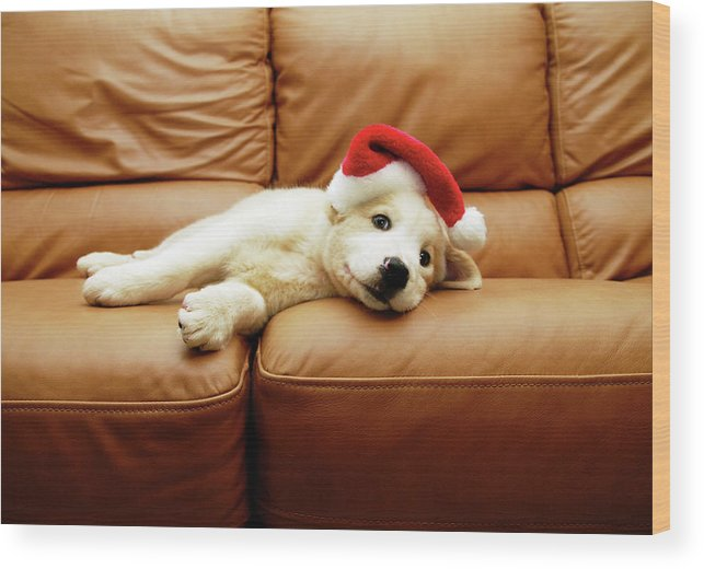 Pets Wood Print featuring the photograph Puppy Wears A Christmas Hat, Lounges On by Karina Santos