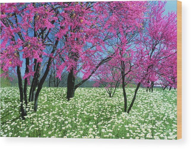 Redbud Trees Cercis Canadensis Blooming Wood Print By Mother