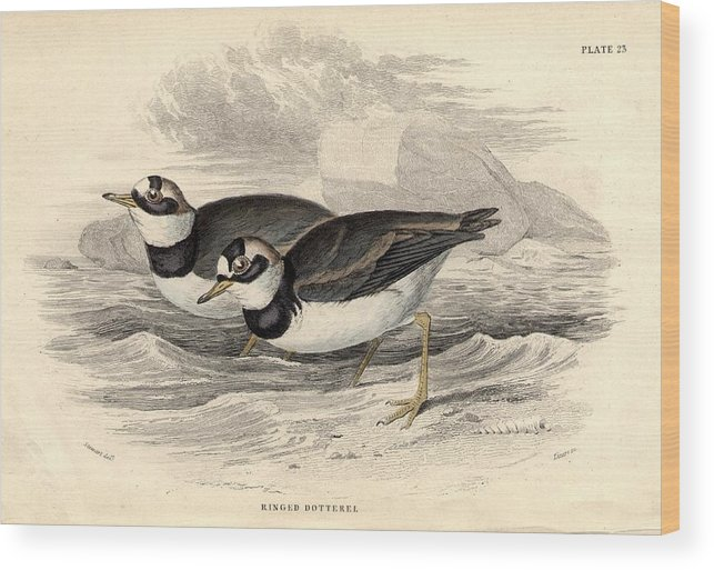 Horizontal Wood Print featuring the digital art Ringed Dotterel by Hulton Archive