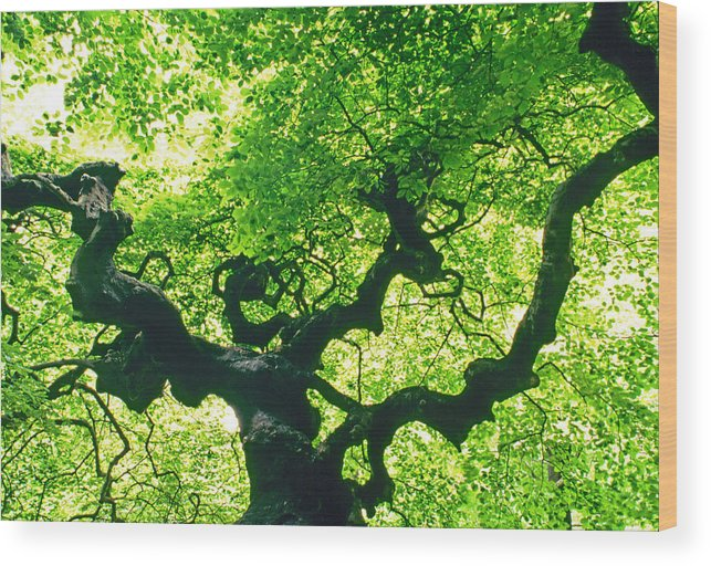 Tranquility Wood Print featuring the photograph Tree At Arnold Arboretum by Richard Felber