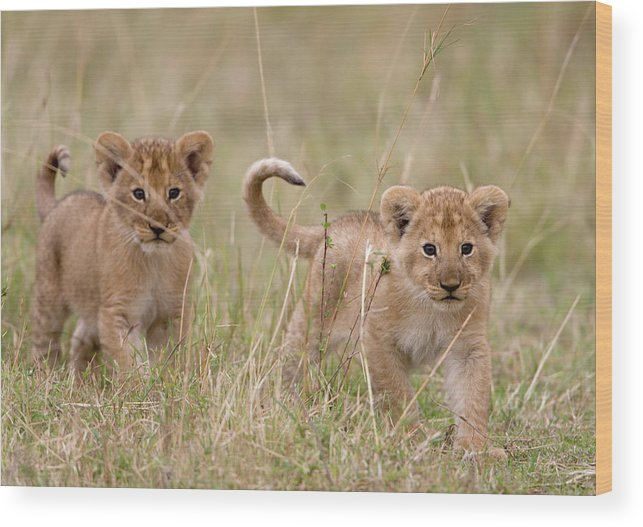Kenya Wood Print featuring the photograph Two Lion Panthera Leo Cubs Walking by Paul Souders