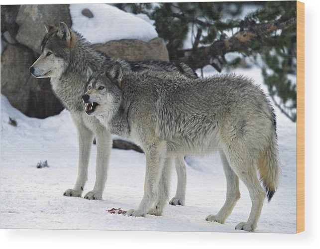 Snarling Wood Print featuring the photograph Two Wolves by Judilen