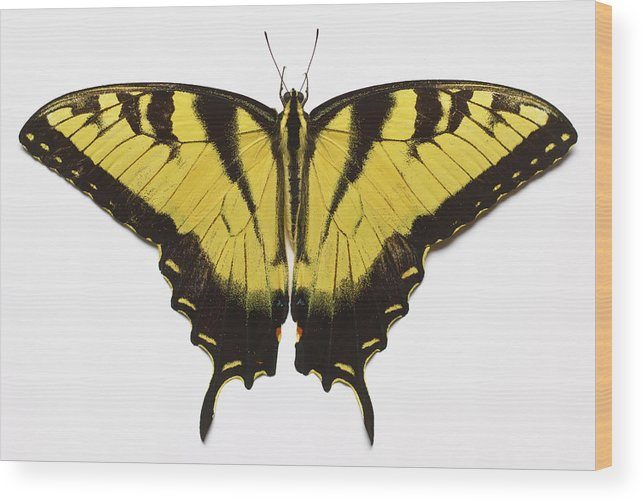 White Background Wood Print featuring the photograph Western Tiger Swallowtail Butterfly by Don Farrall