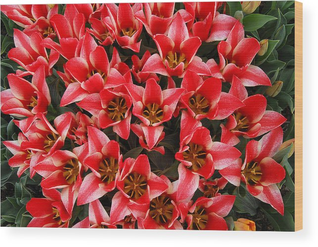 Red Tulips Arrangement Bouquet Wood Print featuring the photograph Bouquet of Red Tulips by Keith Gondron