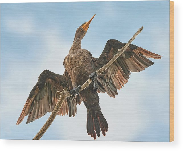 Cormorant Wood Print featuring the photograph Double-crested cormorant by Jim Hughes