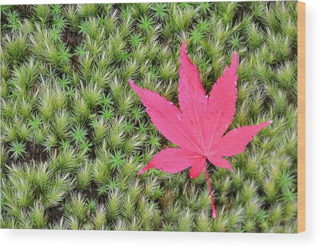 Grass Wood Print featuring the photograph Koyo in Arashiyama, Kyoto by Daniel Chui
