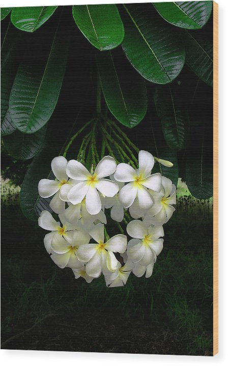 Hawaii Iphone Cases Wood Print featuring the photograph Kawela Plumeria by James Temple