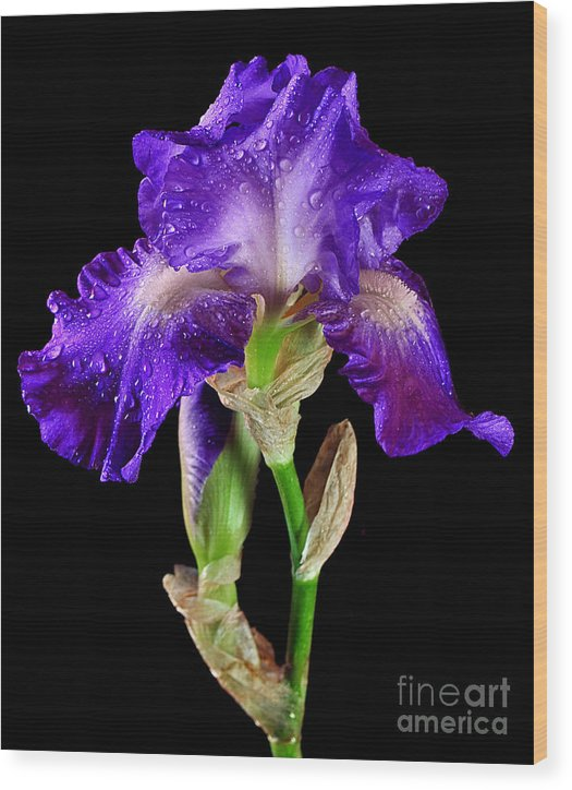 Iris Wood Print featuring the photograph Iris2 by Kevin Hertle
