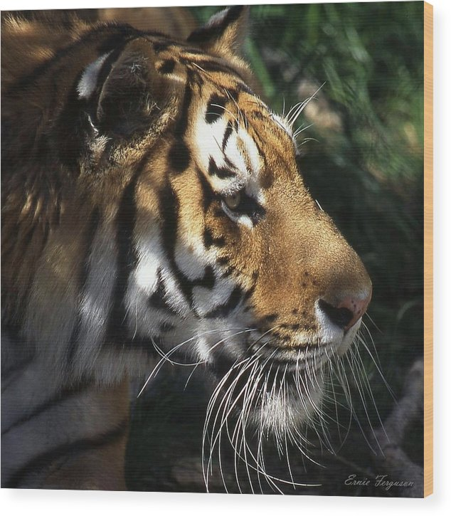 Animals Wood Print featuring the photograph Big Cat No 60 by Ernie Ferguson