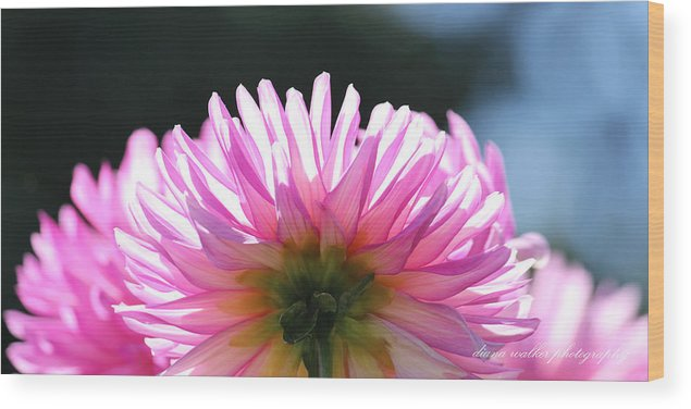 Flower Wood Print featuring the photograph Sunlit Pink Diva by Diana Walker