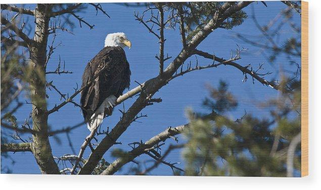 Chad Davis Wood Print featuring the photograph American Bald Eagle by Chad Davis